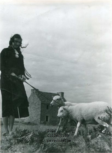 Ouessantine et ses moutons